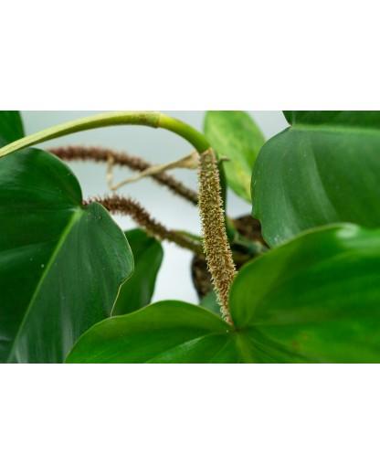 Philodendron Squamiferum 30 cm