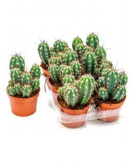 Cactus Scobitoare