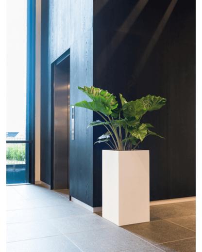 Alocasia Portodora 110 cm