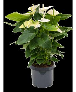 Anthurium Andraeanum Alaska 85 cm