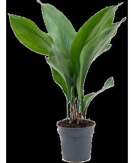 Aspidistra Elatior 60 cm