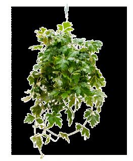 Cissus Rhombifolia Ellen Danica 40 cm