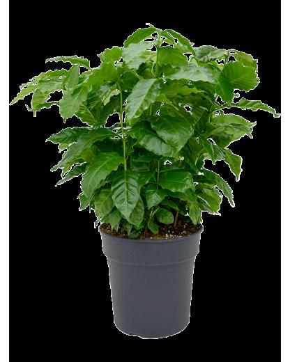 Arbore de cafea 70 cm