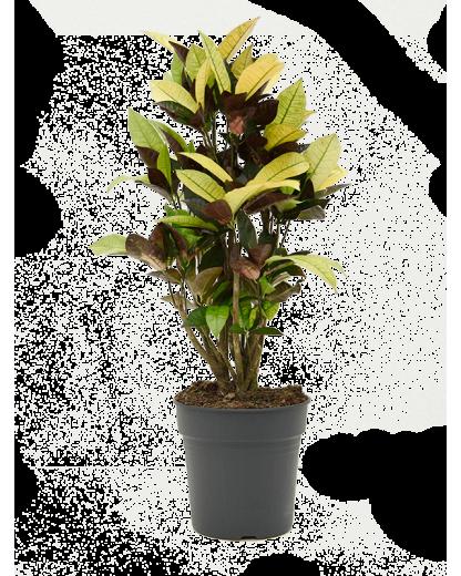 Croton Codiaeum variegatum Mrs Iceton 90 cm