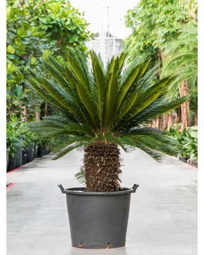Cycas Revoluta 140 cm
