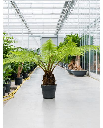 Feriga Arborescenta Dicksonia antarctica 150 cm