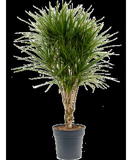 Dracaena Marginata 130 cm