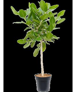 Ficus Benghalensis Audrey 150 cm