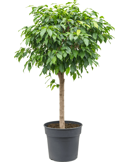 Ficus Benjamina 140 cm