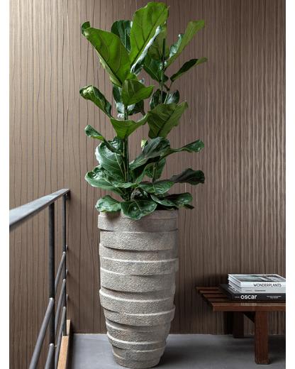 Ficus Lyrata 130 cm