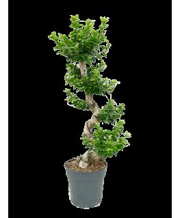 Ficus Bonsai Microcarpa Compacta 110 cm
