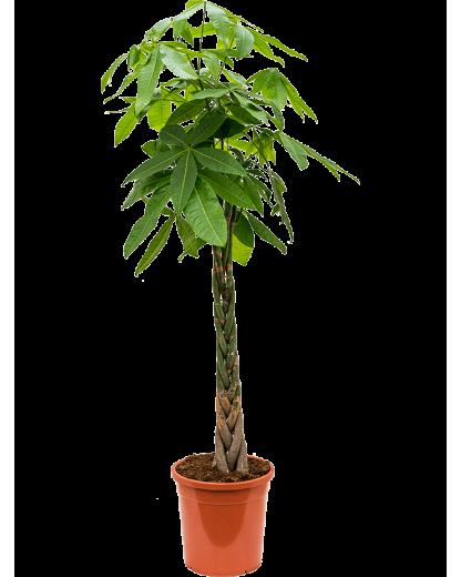Pachira Aquatica 170 cm