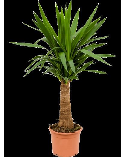 Yucca Elephantipes 100 cm