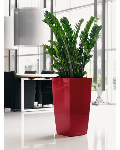 Zamioculcas Zamiifolia 110 cm