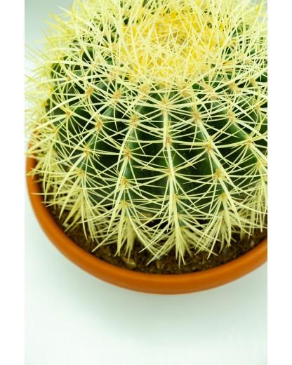 Cactus Butoi de Aur 25 cm