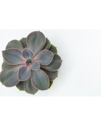 Echeveria Pearl von Nurnberg