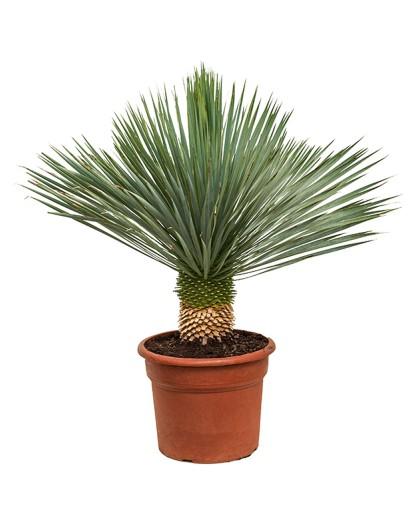 Yucca Rostrata 110cm