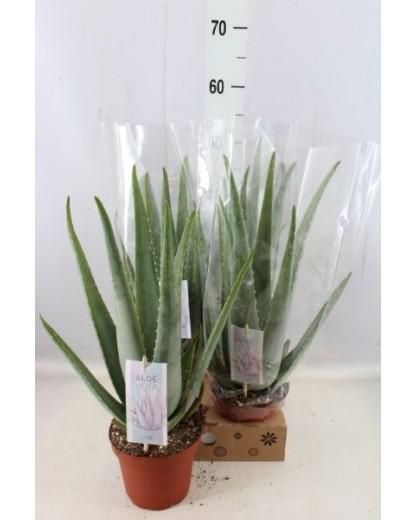 Aloe Vera Barbadensis XXL 50 cm