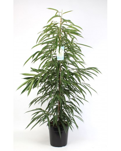 Ficus Alli