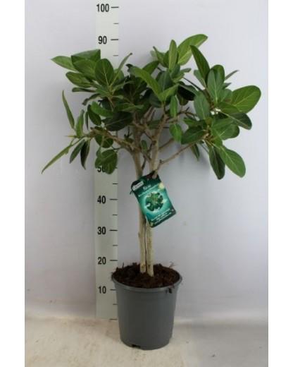 """Ficus Benghalensis """"Petite Audrey"""""""