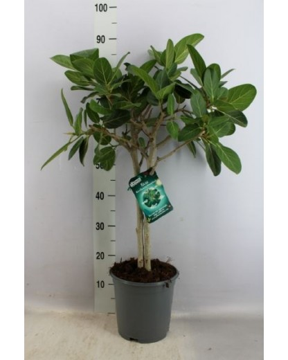 "Ficus Benghalensis ""Petite Audrey"" 90 cm"