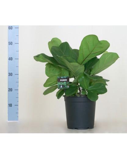 Ficus Lyrata 55 cm