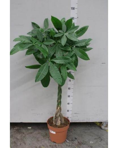 Pachira Aquatica 130 cm
