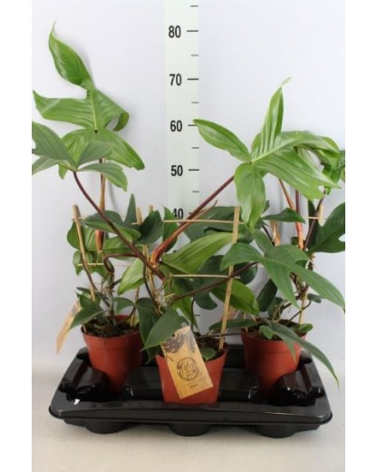 Philodendron Green 40 cm