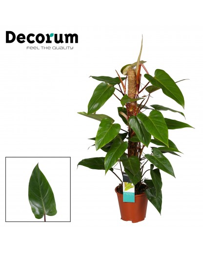 """Philodendron """"Red Emerald"""""""