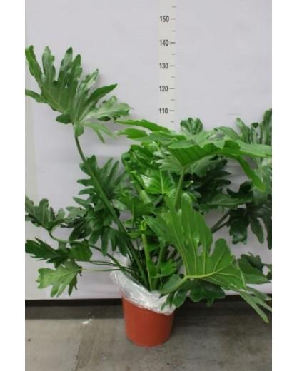 Philodendron Selloum 90 cm
