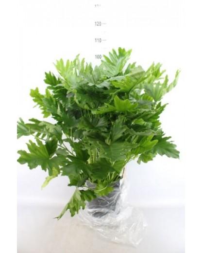 "Philodendron ""Shangri La"""