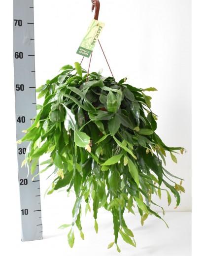 Rhipsalis Crispata