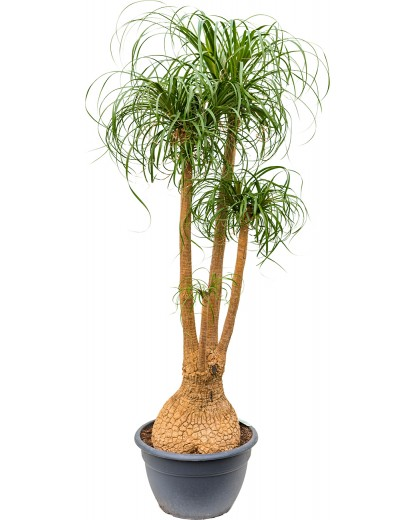 Ponytail Palm - Beaucarnea