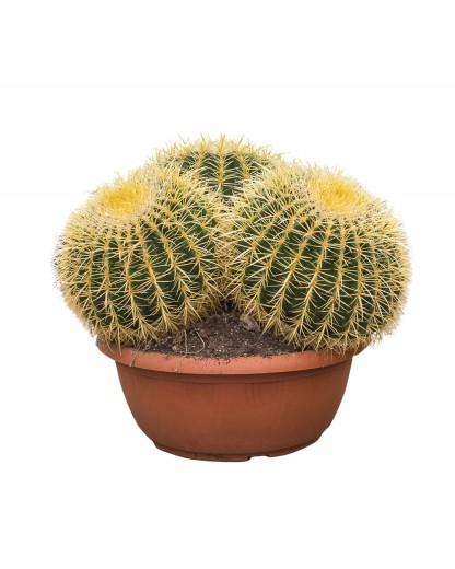 Echinocactus Grusonii cluster