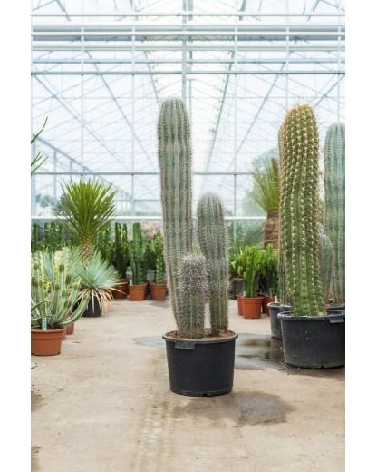 Cactus Gigant Mexican