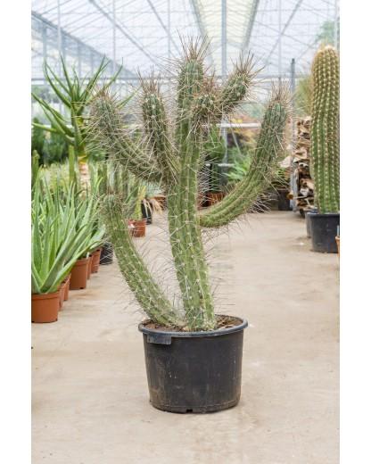 Cactus Scobitoare Stetsonia