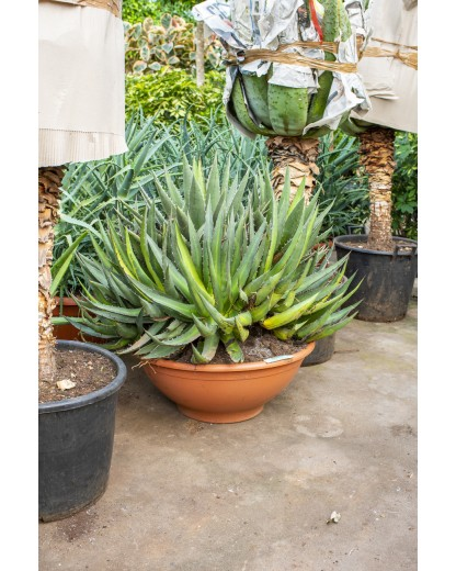 Agave kerchovei