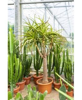 Aloe Bainesii 220 cm