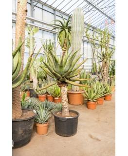 Aloe Ferox 120 cm
