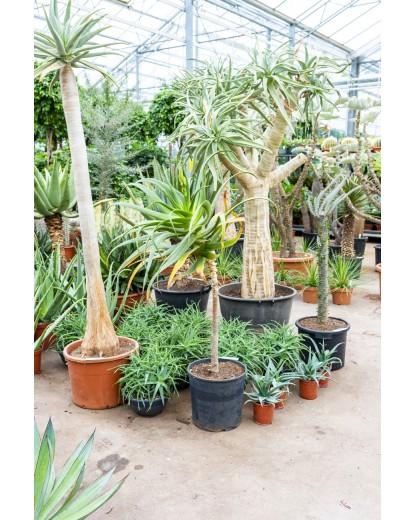 Aloe Pluridens Africana