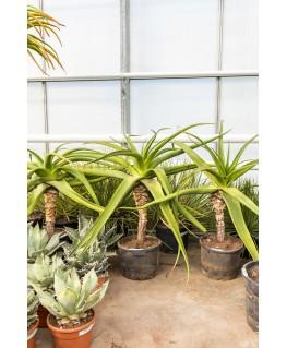 Aloe Tomentosa 160 cm