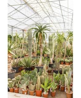 Aloe Thraskii 200 cm