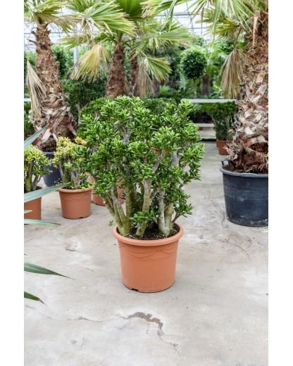 Grassula Gollum