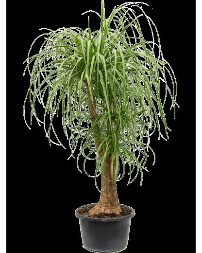 Beaucarnea Recurvata 120 cm