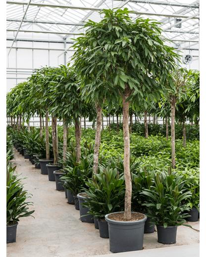 Ficus Binnendijkii Amstel King 225 cm