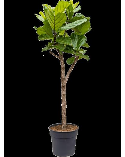 Ficus Lyrata 160cm