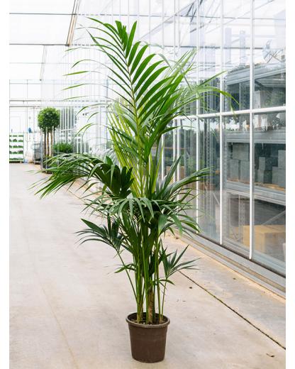 Kentia (Howea) forsteriana 200 cm