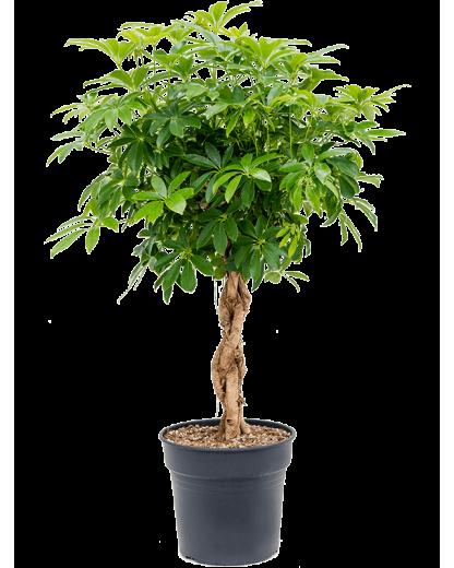 Schefflera arboricola 'Compacta' 115 cm