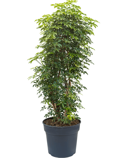 Schefflera arboricola 'Louisiana' 135 cm