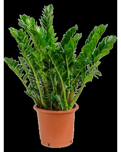Zamioculcas Zamiifolia 90 cm